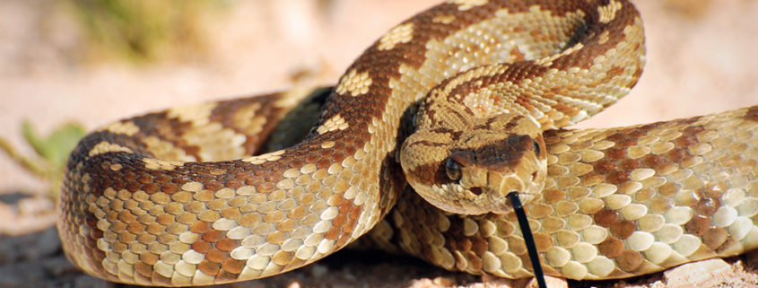 Expert witness golf rattlesnakes wildlife bite injury